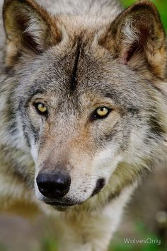 Timber Wolf by WolvesOnlyYou can find Timber wolf and more on our website.Timber Wolf by WolvesOnly Wolf Images, Wolf Photos, Wolf Pictures, Beautiful Wolves, Animals Beautiful, Wolves Of Wall Street, Wolf Hybrid, Wolf Photography, Wildlife Photography