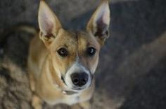 Jada is an adoptable Pharaoh Hound Dog in Kingman, AZ. All our dogs are rescued from Henderson, NV Animal Control that are scheduled to be euthenized. Once we have them they are examined by a vet and ...