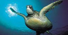 marine turtles endangered - Google Search
