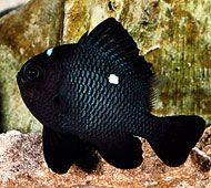 Domino Damsel Fish  http://www.fishchannel.com/fish-species/saltwater-profiles/domino-damsel-2.aspx