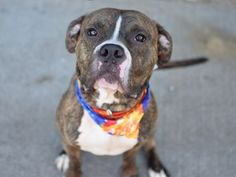 GRIZZLY - A1035831 - - Brooklyn  TO BE DESTROYED  05/23/15  The tail is wagging, the sit is charming, and Grizzly catches attention for his happy disposition. What is a handsome boy doing on his own in a high kill shelter ? It seems so unjust, but somehow he ended up as a stray at the NYCACC. Grizzly has been listed to be destroyed and he needs sharing and advocating. All his sunshine will be darkened if a foster or adopter is not found by noon tomorrow. Grizzly is a young