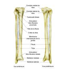Os de la jambe et du pied