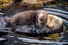 (99) Otterly Cute