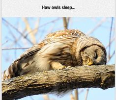 I never really thought about owls sleeping lol
