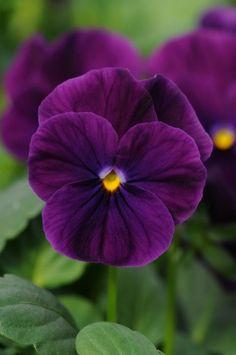 Pansy ~ Sorbet series 'XP Purple' Viola
