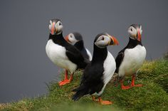 Puffins! #Alaska  Saw these adorable birds all over the rocks near glaciers and a pod of whales. Due to husbands back disabilities, cruises are about all we can do now and would love to take him here to celebrate life  my retirement!