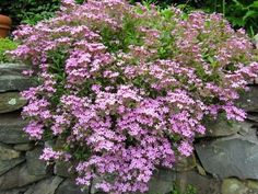 """Rock Soapwort Also known as """"Tumbling Ted,"""" a good semi-evergreen groundcover that blooms in summer. It is native to the mountainous regions of the Southern Europe, it is relatively cold hardy and doesn't grow well in hot climates Drought Resistant Plants, Plants, Colorful Plants, Evergreen Plants, Garden Web, Hardy Perennials, Drought Tolerant Plants, Landscaping Plants, Desert Plants"""