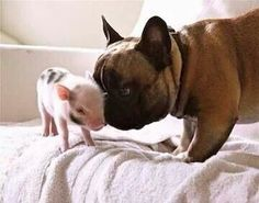 Piglet smaller than French bull's head cuddles French bull. (OK so it's not a cute animal video, it's a still, but who cares? #Afterparty Emma's cute animal videos board is not entirely opposed to variety.)