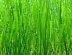 Výsledek obrázku pro zelený ječmen