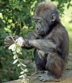 phototoartguy: madiba burgerszoo by. Cute Baby Animals, Animals And Pets, Animal Babies, Funny Animals, Animals Amazing, Animals Beautiful, Baby Gorillas, Orangutans, Cute Animal Pictures