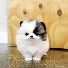pom dogs - Google Search