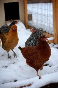 Keep Your Chickens Happy During Cold Weather « My Snazzy Chicken Coop Chickens And Roosters, Pet Chickens, Chickens Winter, Keeping Chickens, Raising Chickens, Backyard Farming, Chickens Backyard, Garden Animals, Farm Animals