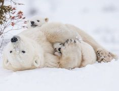 """energy: """"Snowy snuggles. Wapusk National Park, - 30F. Polar bear mother with newborn cubs out of the birth den and on the way to Hudson Bay. """""""