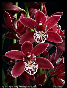 A hybrid orchid ( color) - Orchideen Beautiful Bouquet Of Flowers, Unusual Flowers, Rare Flowers, Flowers Nature, Amazing Flowers, Beautiful Flowers, Red Orchids, Orchids Garden, Cymbidium Orchids