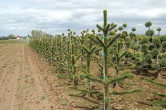 A Monkey Puzzle tree farm? AWESOME!