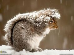 Squirrel protect himself from the snow with his tail ..