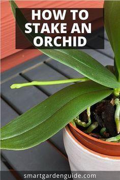 Indoor Orchids, Orchids Garden, Garden Plants, Indoor Plants, Potted Plants, Red Orchids, Flowers Garden, Phalaenopsis Orchid Care, Orchid Plant Care