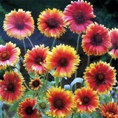 Blanket Flower Gaillardia Flower Seeds/Aristata/Perennial   50+ by MyFlowerGrounds on Etsy