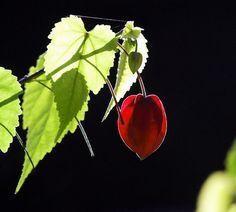 2009/12/14 アオイ科イチビ属の常緑低木で、学名は Abutilon megapotamicum。英名は Trailing abutilon。 京都府立植物園/Photo was taken in The Kyoto Botanical Garden