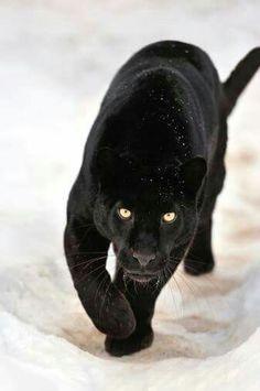 Pantera negra. ¡Bella!