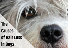 Learn the potential causes of hair loss in dogs, when you should see a vet, and what you can do at home to give your dog relief from itching.