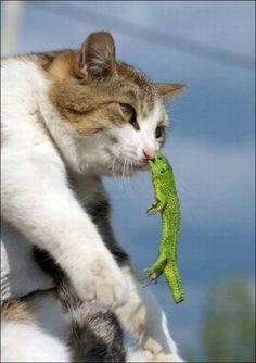 Yes. Sir. That lizard held on to the cat's nose fer dear life. Ouch!!