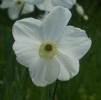 Narcissus poeticus Polar Ice