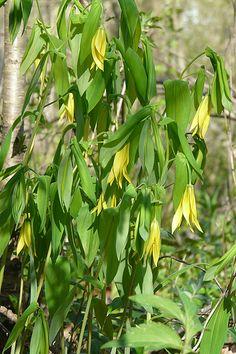 Bellwort - Uvularia grandiflora   Daffodil alt-Blooms May to June