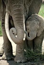 I love to see baby elephants with their mothers--they always have beautiful relationships