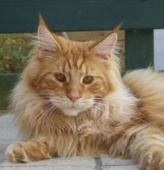 maine coons pictures - Bing Images
