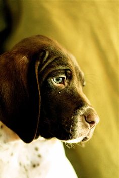 Okay not food, but I WANT!  so pensive. I wonder what he's thinking about. Probably food. GSP puppy - German Shorthaired Pointer