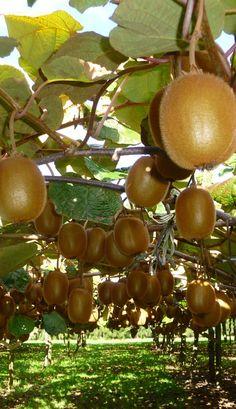 Kiwifruit orchard, B