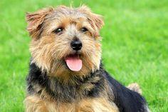 Norfolk Terriers - Health, History, Appearance, Temperament & Maintenance