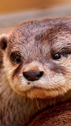 otter, face, eyes, animal