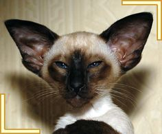Seal Point Siamese Cats   ... Kittens, Foreign Whites and Siamese Kittens For Sale to loving homes