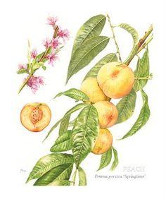 Prunus persica PEACH   'Springtime' Janie Pirie SBA GM coloured pencils    ukcps.blogspot.com