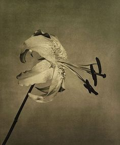 Robert Mapplethorpe (1946 - 1989)  UNTITLED (TIGER LILY) FROM THE PORTFOLIO 'FLOWERS', 1983  Toned photogravure  31 1/4 x 24 1/2 inches  79.4 x 62.2 centimeters  Edition 5/40  MAP# CG2005-05  CR# MA.8099.5