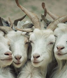 A bunch of white goats gather for a group shot. Farm life, goat, animals, animal photography .