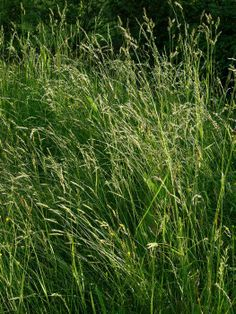Ornamental grasses landscaping ornamental grasses iowa for Ornamental grass that looks like wheat