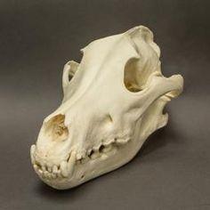 WOK-3314: Gray Wolf Skull  (Natural Bone)
