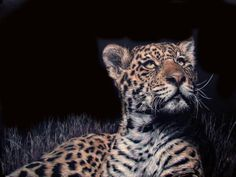 This is a beautiful young jaguar from the parc De Felins Cerza.  His name is Salto.  This is my rendition of him in scratchboard.  I have added some layers of inks to him to show how beautiful that coat and his eyes are