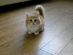 cute kiten pictures gif | fluffy_confused_kitten_gif_5_by_wonderfuday-d51jyza.gif