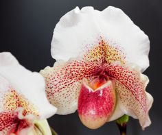 Slipper-orchid: Paphiopedilum 'Dusty Rhodes'- Flickr - Photo Sharing!