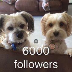 Thank you from lily & Nellie  #MaltipooLove #maltipoosofinstagram #maltipoo #dogsofinstagram #instagramdogs #dogs #maltese #dogsofig #dog #petsofinstagram#doglovers #picoftheday #pets #maltesecavalier#malteseofinstagram#malteseofficial #dogoftheday#barkhappy#lacyandpaws#weeklyfluff#odefix#furfriend#ilovemaltese#buzzfeed#buzzfeedanimals#mydogiscutest #mydog#instapic #instagramdogs#love  #loves_animals by fentiger379