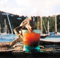 Iguana caught drinking on St. John, USVI. #funnyanimals  Photo from a contest held at Caribbean Travel + Life magazine.