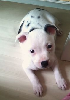 cute adorable staffy puppy, staffordshire bull terrier, staffy, 8 weeks old, black and white, piebald