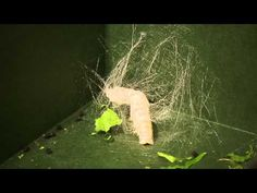 Silkworms Timelapse - YouTube there are other clips here showing the whole process of silk production