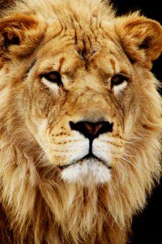 Lion of Judah iPhone Wallpaper by godserv, via Flickr