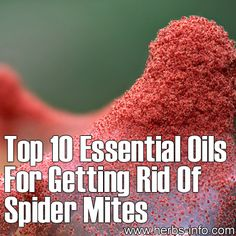 Top 10 Essential Oils For Getting Rid Of Spider Mites - Herbs Info Natural Home Remedies, Herbal Remedies, Doterra, Organic Gardening, Gardening Tips, Get Rid Of Spiders, Household Pests, Spider Mites, 10 Essentials