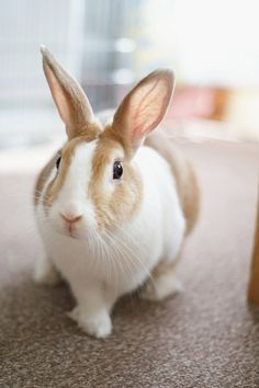 This bunny looks just like my Kismo in his younger years. Those big ears! I miss him every day, what a special bunny he was. Funny Bunnies, Baby Bunnies, Cute Bunny, Bunny Rabbits, Easter Bunny, Animals And Pets, Baby Animals, Cute Animals, Hamsters